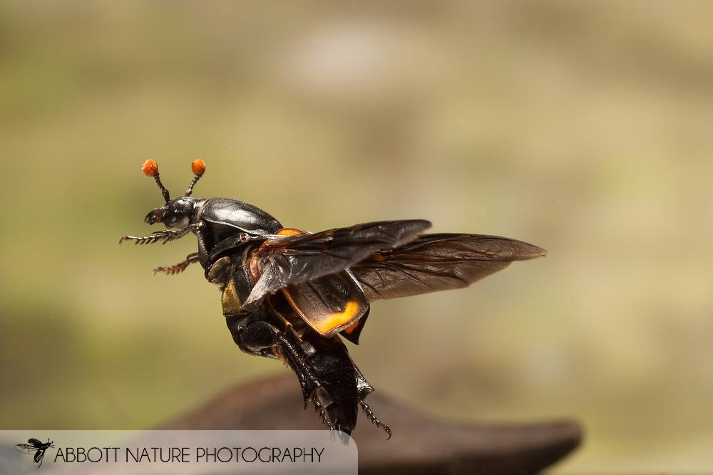 Nicrophorus carolinus (Burying Beetle, Sexton Beetle) in filght; image captured using high speed flash<br /> TEXAS: Lamar Co.<br /> Paris<br /> 13.July.2009<br /> J.C. Abbott