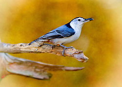 A Nuthatch perched on a tree branch with a seed in his beak