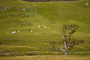 Sheep Grazing on the hills of Glen Clunie, Scotland