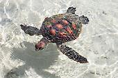 French Polynesia Moorea Turtle Clinic Te Mana o Te Moanu