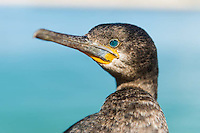 Cape Cormorant waiting for returning fishing boats at the harbour so that it may scavenge fish scraps, Struisbaai Harbour, Western Cape, South Africa.
