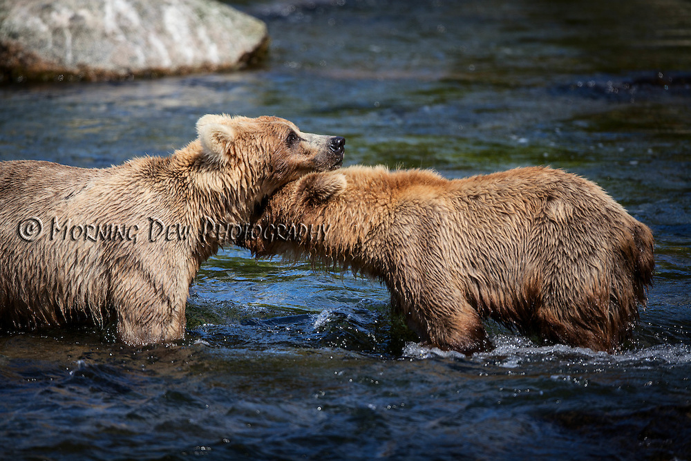 A young brown bear and its adopted mother, Holly, share a tender moment while fishing in Brooks River