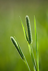Timothy Grass. Phleum pratense
