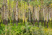 Trembling aspen trees in stand at the Muleshoe Picnic SIte<br />