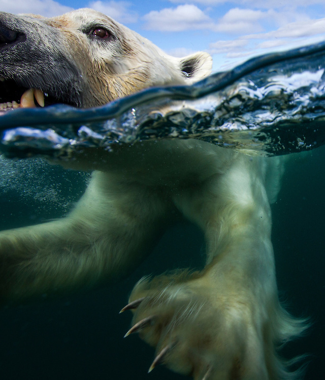 Canada, Nunavut Territory, Underwater view of Polar Bear's paws and claws (Ursus maritimus) swimming in Hudson Bay