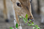 Spotted deer or Chital or Cheetal, Axis axis, in Keoladeo Ghana National Park, Bharatpur, Rajasthan, India
