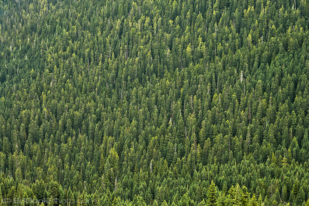 coniferous forests One of the environmental problems in the coniferous forest is that the forest is becoming smaller the reason that the forest is becoming smaller is because of the human population.