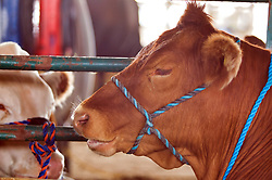 McLean County Fair - bridled cow