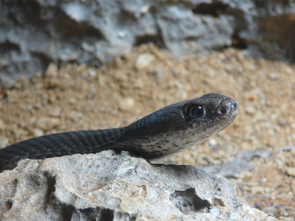 EN&gt; Close up of a whip-snake | <br /> SP&gt; Retrato de una serpiente chirrionera