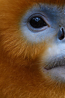 Close up portrait of a Sichuan Golden Snub-nosed Monkey, Rhinopithecus roxellana, at the Yangxian Nature Reserve, Shaanxi, China