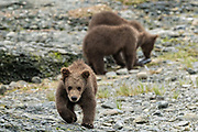 Brown bear spring cubs play at the lower lagoon at the McNeil River State Game Sanctuary on the Kenai Peninsula, Alaska. The remote site is accessed only with a special permit and is the world's largest seasonal population of brown bears in their natural environment.
