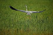 IDAHO. Cascade Lake. Great Blue Heron (Ardea herodias) flying over marsh grasses in summer. #bh060314