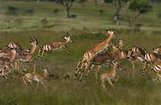 Impalas fleeing from predator, Serengeti National Park, Tanzania.