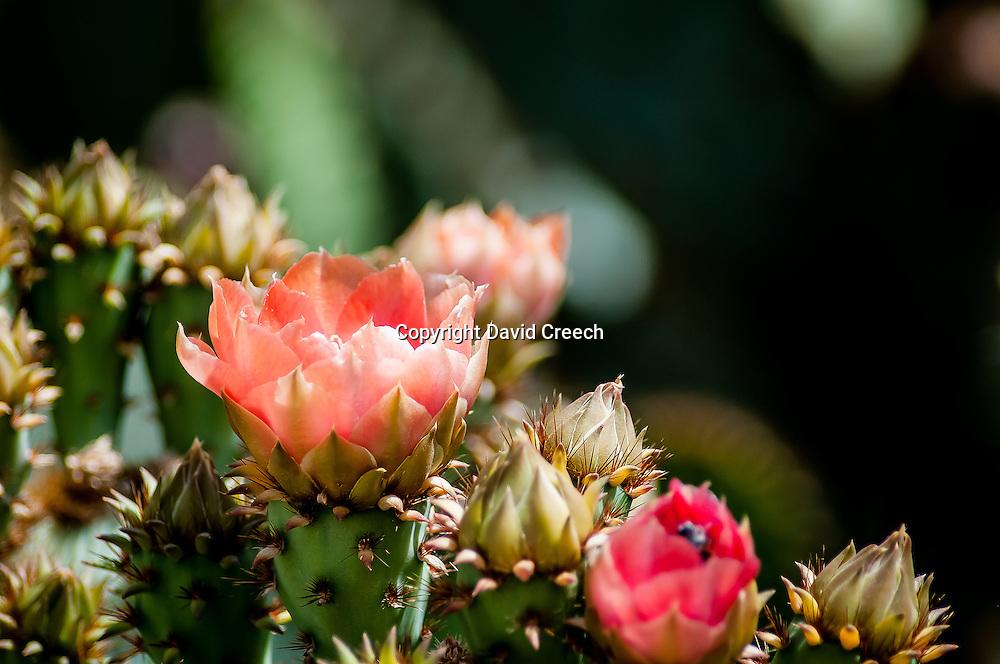 Englemann's Prickly Pear (Opuntia engelmannii)