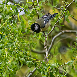 Chapim-real (Parus major) fotografado na Alemanha. Registro feito em 2019.<br /> ⠀<br /> ⠀<br /> <br /> <br /> <br /> <br /> <br /> <br /> <br /> <br /> <br /> <br /> ENGLISH: Great Tit photographed in Germany, in Europe. Picture made in 2019.