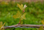 Bud Break, Wolffer Estate Vineyards, Sagaponack, Long Island, New York