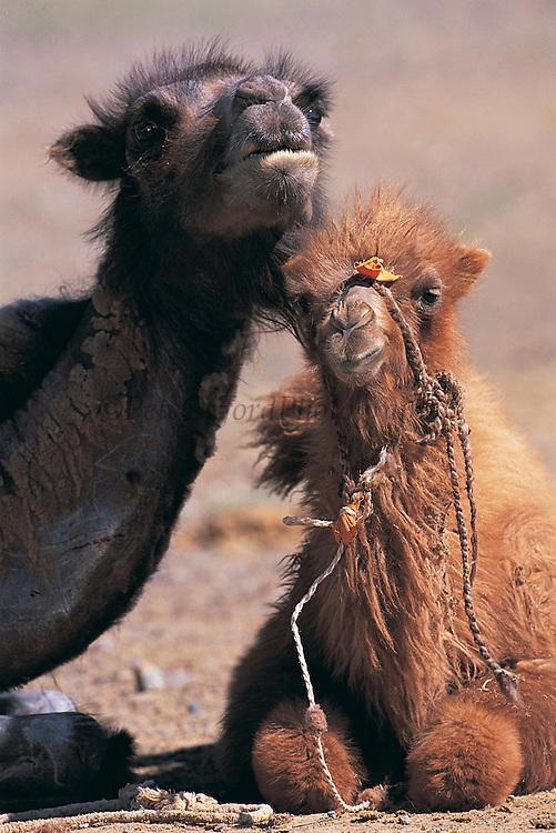 Bactrian camels (Camels bactrians)<br /> Gobi Desert<br /> Mongolia