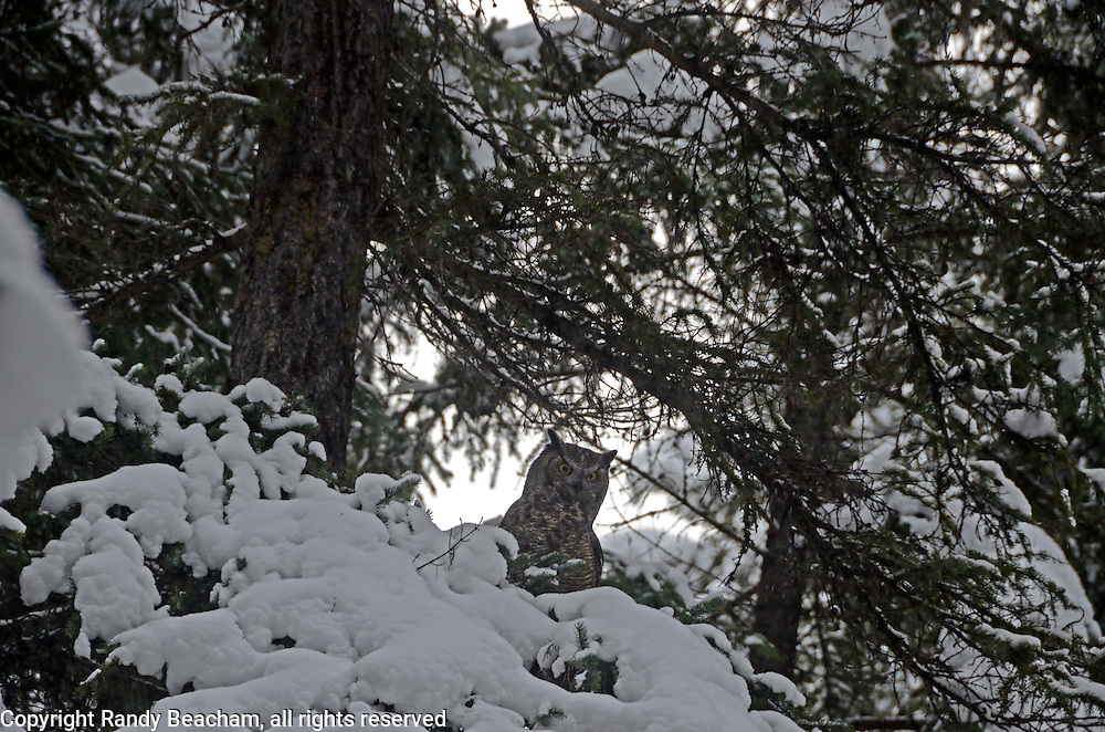 Great-horned owl in a conifer forest in winter. Yaak Valley in the Purcell Mountains, northwest Montana.