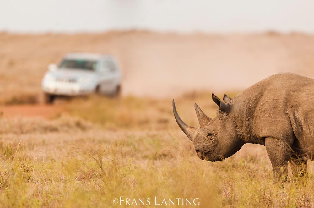Black rhinoceros, Diceros bicornis, Lewa Wildlife Conservancy, Kenya