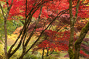 An assortment of trees show a wide variety of fall colors in the Woodland Garden in the Washington Park Arboretum, Seattle, Washington.