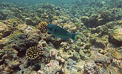 A Parrotfish at Mermaid Reef at the Rowley Shoals.