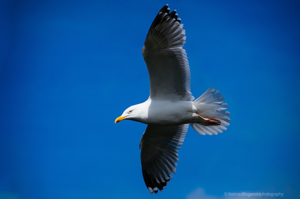 A Seagull flies high in against the backdrop of a deep blue sky as it's eye scans the seascape below. In the bright mid day sunshine the white feather of this flying seagull contrast with the deep blue sky behind it.