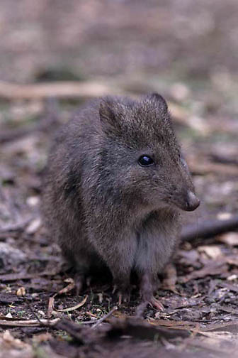 Long-nosed Potoroo, (Potorous tridactylus) Eastern Australia.