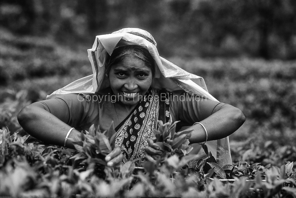 Tea is the countries most valuable export crop. We are famous for our Ceylon Tea. Tea pluckers work hard to collect 'two leaves and a bud'. This is on PundulOya Estate, below Nuwara Eliya.