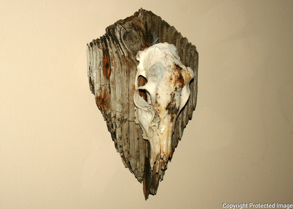 A skull of a whitetail buck, hornless with horn bumps on a plaque of driftwood from Jekyll Island Georgia.