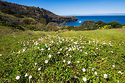 Island morning glory above Pelican Bay, Santa Cruz Island, Channel Islands National Park, California USA