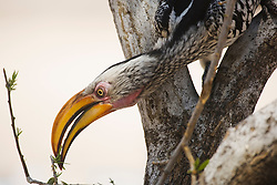 Portrait of a yellowbilled hornbill (Tockus flavirostris) reaching over to feed from a tree branch, Moremi, Botswana