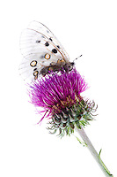 IFTE-NB-007457; Niall Benvie; Apollo butterfly; Austria; Parnassius; apollo; Europe; Tirol; Fliesser Sonnenhänge; insect butterfly invertebrate arthropod; vertical; high key; white purple; controlled; adult; upland sunny meadow grassland; 2008; July; summer; strobe backlight; Wild Wonders of Europe Naturpark Kaunergrat