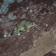 I had read about this small mammal, which is actually a member of the racoon family and not a cat, and it didn't disappoint. They have obviously become habituated to the procession of kayakers that camp on the island, and on one particular beach. One of them crept into our camp even when we were awake and cooking on a campfire, and came very close to us; I could hear the sound of it clattering around with our cooking pots.