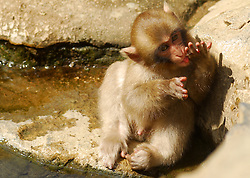 Jigokudani Monkey Park.<br /> Snow monkey in hot springs and Onzens. (Japanese traditional public baths), Yudanaka. Jigokudani , Monkey park. Nagano. Japan, 2007. Picture by DyD Fotografos / i-Images<br /> SPAIN OUT