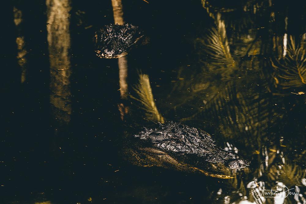 American Alligators Hide Beneath the Palms