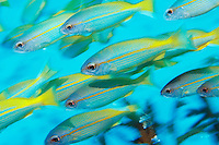 School of tropical fish in ocean