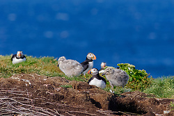 bird, Atlantic Puffin Fratercula arctica and herring gull chick Larus argentatus Puffin rock, Bonavista Newfoundland, Canada