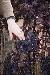 Cutting back Kale 'Red Bor' to promote more growth
