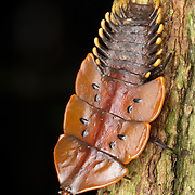 """Female of a Net-winged beetle commonly referred to as a """"trilobite beetle"""", named so because of their prehistoric shape. The one you see here is Platerodrilus ruficollis. Platerodrilus is a genus of beetles of the family Lycidae."""