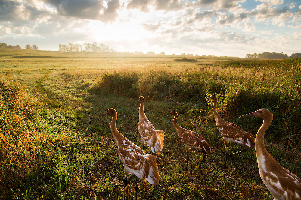 The 2013 Direct Autumn Release Whooping Cranes walk through the prairie at sunrise.