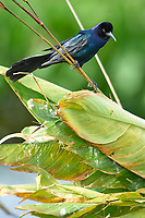 Boat-tailed Grackle (Quiscalus major),  Wakodahatchee Wetlands, Delray Beach, Florida, USA   Photo: Peter Llewellyn