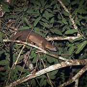 The small-toothed palm civet (Arctogalidia trivirgata), also known as the three-striped palm civet, is a palm civet. It lives in dense forests of southeast Asia. The diet is varied and omnivorous, and usually consists of insects, small mammals, nesting birds, fruits, frogs and lizards. Matching the habits of other palm civets, this species is solitary, arboreal and nocturnal.