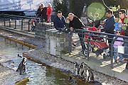 Mannheim. 16.02.17 | BILD- ID 039 |<br /> Luisenpark. Der aus dem Mannheimer Luisenpark verschwundene Pinguin ist tot. Das meldet die Polizei. Am Donnerstagmorgen gegen 8.30 Uhr habe ein Zeuge ihn am Rande eines Parkplatzes in der Museumstraße in der Mannheimer Oststadt gefunden. Anhand der Flügelmarke konnte das Tier identifiziert werden. Noch sei unklar, ob der Täter es dort tot abgelegt habe, oder ob es zu diesem Zeitpunkt noch lebte. Der Pinguin sei zwar ohne Kopf aufgefunden worden, aber die Polizei schließt nicht aus, dass sich ein anderes Tier an ihm zu schaffen gemacht hat. Der leblose Körper werde im Chemischen und Veterinäruntersuchungsamt in Karlsruhe (CVUA) untersucht, die Staatsanwaltschaft habe ein Ermittlungsverfahren gegen unbekannt eingeleitet. Die Behörden schließen aus, dass der fünf Kilogramm schwere und bis zu 60 Zentimeter große Pinguin von einem Wildtier gerissen oder aus dem Gehege im Luisenpark entlaufen sein könnte.<br /> Bild: Markus Prosswitz 16FEB17 / masterpress (Bild ist honorarpflichtig - No Model Release!)