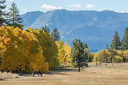 """""""Meadow in the Fall"""" - Photograph of a horse in a meadow with yellow aspens and Lake Tahoe in the background."""