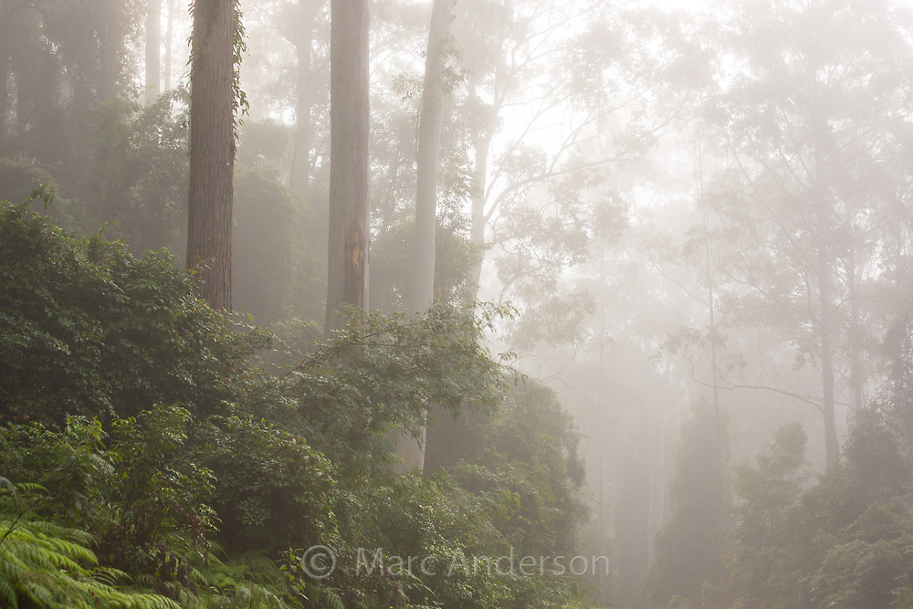 Tall eucalyptus forest shrouded in early morning mist, Watagans National Park, NSW, Australia