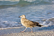 Juvenile Lesser Black-Backed Gull in Gulf of Mexico, Anna Maria Island, Florida, USA