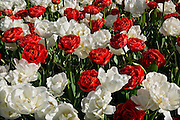 WA13063-00...WASHINGTON - Red and white double tulips blooming in a domonstration garden at RoozenGaarde bulb farm.