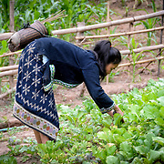 A woman tending to her small crop of vegetables on the banks of the Nam Ou (River Ou) in Nong Khiaw in northern Laos. When the rainy season comes, the swelling of the river will put this small farm under water.. The town's name is sometimes also spelled as Nongkiau, Nong Kiau, or Nong Kiew.