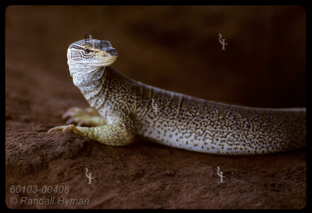 Goanna lizard, nearly one meter long, looks to side as it hunts in afternoon shade;Tanami Desert Australia