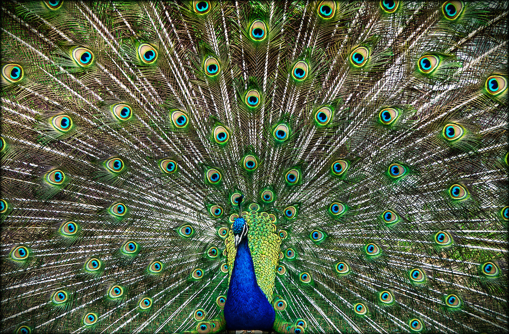 Extravagant Peacock dance